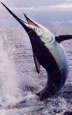 Deep-Sea-Fishing-In-Cancun-Blue-Marlin-12