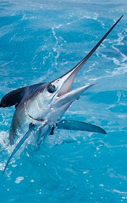 Deep-Sea-Fishing-In-Cancun-White-Marlin-5
